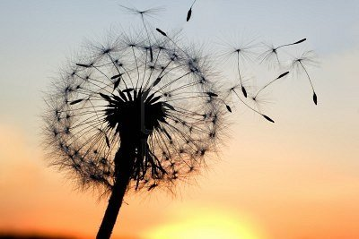 9638844-a-dandelion-blowing-seeds-in-the-wind