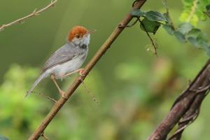 Cambodian-Tailorbird-35-1