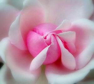 300px-Pink_rose_petals