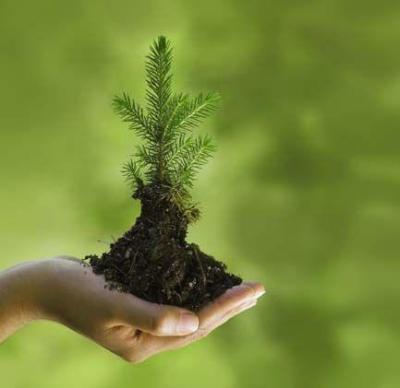 pine-tree-sapling